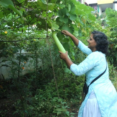 When I planted Bottle Gourd during the off-season, it gave almost nil produce. However, post-September, it started giving a lot of produce