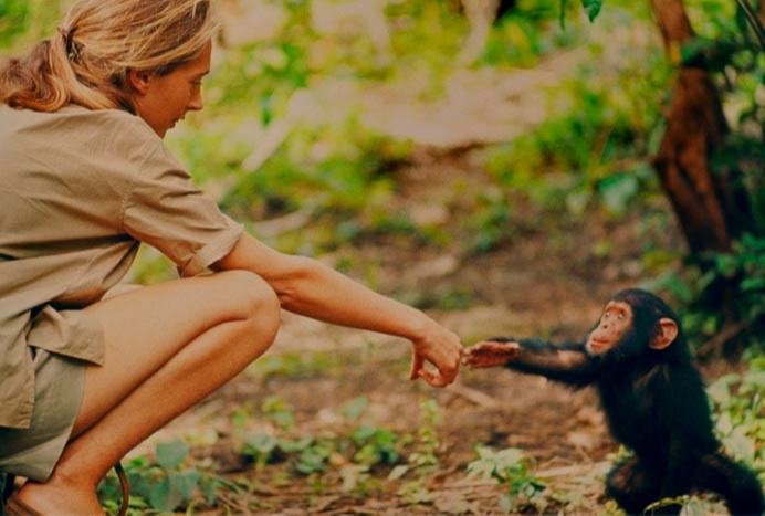 Jane goodall was staying close to the chimps community, almost daily interaction with them