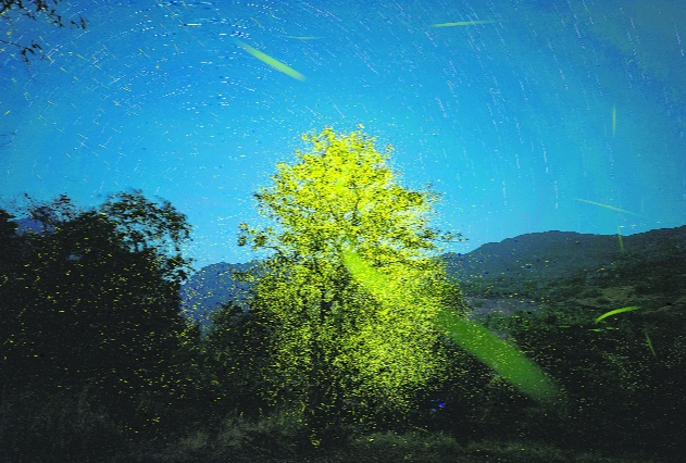 She spotted a Myrobalan tree that was completely blanketed by the fireflies