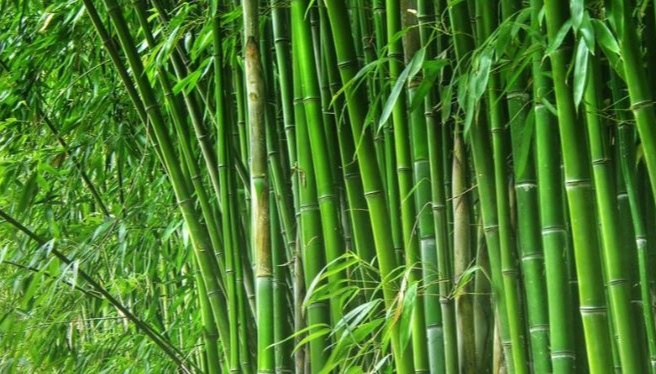 Bamboo can be a Great Substitute for Plastic
