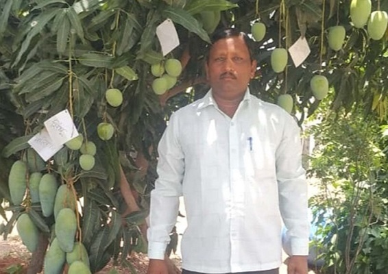 At Kakasaheb's orchard, one mango tree has 22 different varieties of mangoes hanging to it