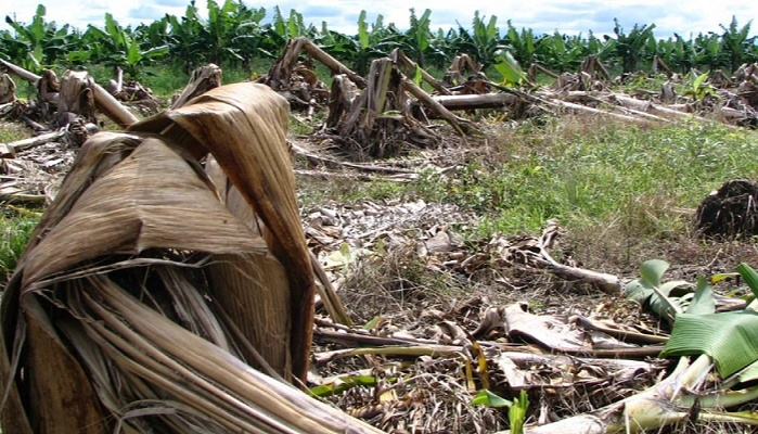 Mehul observed that his hometown has banana cultivation done on 20,000 hectares of fields and witnessed hundreds of tons of banana tree waste produced every year