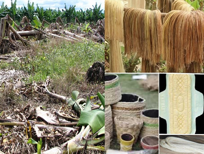 Banana stems finds new avathar in form of sanitary pads, tissue paper while helping farmers